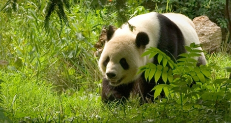 (Photo d'illustration) Panda.