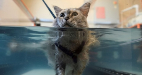 Bessy, une Maine coon souffrant d'arthrite, marche sur un tapis roulant aquatique lors d'une séance d'hydrothérapie au Friendship Hospital For Animals à Washington, le 25 juillet 2019.
