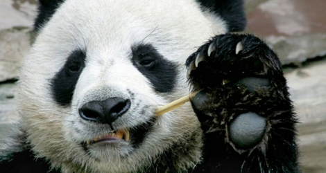 Chuang Chuang, a beloved giant panda on loan to Thailand from China, died in a Chiang Mai zoo aged 19.